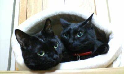 2匹の黒猫の写真